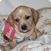 Adopt A Pet :: Blondie-ADOPTED - Pinehurst, NC