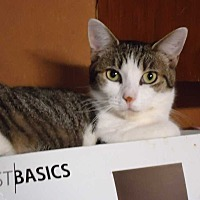 Domestic Shorthair Cat for adoption in Central Islip, New York - Peaches