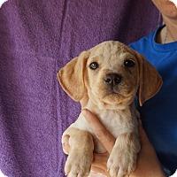Adopt A Pet :: Lux - Oviedo, FL