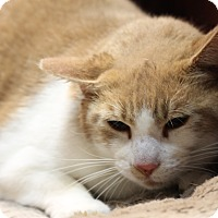 Domestic Shorthair Cat for adoption in Covington, Louisiana - Ceasar