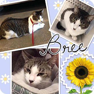 Domestic Shorthair Cat for adoption in Keller, Texas - Bree