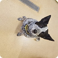 Adopt A Pet :: Joey - Naperville, IL