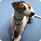 Adopt A Pet :: Ignatius AKA Tony