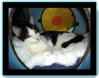 Domestic Shorthair Kitten for adoption in Easley, South Carolina - Sabre