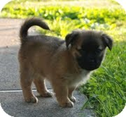 Australian Shepherd/Feist Mix Puppy for adoption in Allentown, Pennsylvania - Aggie