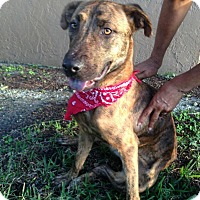Adopt A Pet :: Roxy - Coral Springs, FL