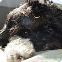 Shih Tzu Mix Dog for adoption in Springfield, Virginia - Liam