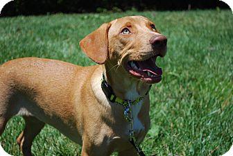 Labrador Retriever/German Shepherd Dog Mix Puppy for adoption in Richmond, Virginia - Curry