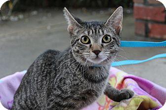 Domestic Shorthair Kitten for adoption in Ocean Springs, Mississippi - Clam