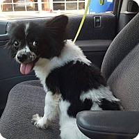 Adopt A Pet :: Miss Wisp - Blue Bell, PA
