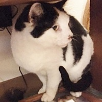 Domestic Shorthair Cat for adoption in Weiser, Idaho - Oscar