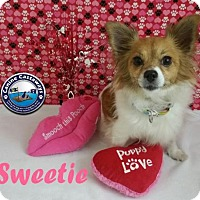 Papillon Mix Dog for adoption in Arcadia, Florida - Hold - Sweetie