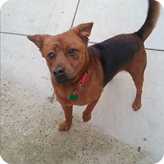 Shepherd (Unknown Type)/Labrador Retriever Mix Dog for adoption in Sacramento, California - Rudy