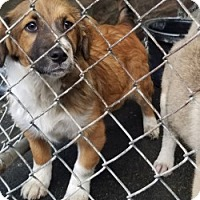 Adopt A Pet :: GEORGIE - Gustine, CA