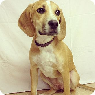 Hound (Unknown Type) Mix Dog for adoption in Waldorf, Maryland - Callie