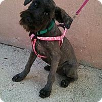 Adopt A Pet :: Kora aka Stormy - Vancouver, BC