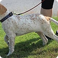 Adopt A Pet :: Bentley - Somers, CT