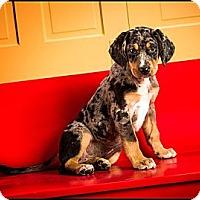 Adopt A Pet :: Blue - Owensboro, KY