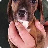Adopt A Pet :: Iceman - Gainesville, FL