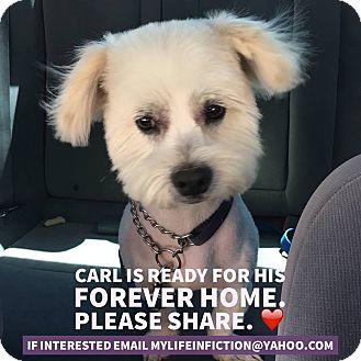 Westie, West Highland White Terrier/Bichon Frise Mix Dog for adoption in Rosamond, California - Carl