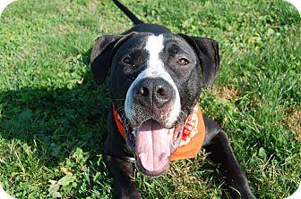 Labrador Retriever Mix Dog for adoption in Wilmington, Delaware - Sir