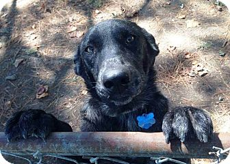 Catahoula Leopard Dog/Labrador Retriever Mix Dog for adoption in Goodlettsville, Tennessee - Lacy