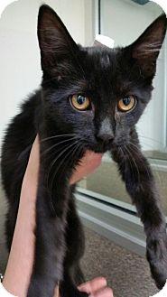 Domestic Shorthair Kitten for adoption in Chambersburg, Pennsylvania - Gobi