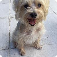 Adopt A Pet :: Iggy - Ocean Ridge, FL