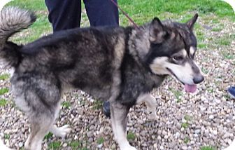 Alaskan Malamute Mix Dog for adoption in Augusta County, Virginia - Youki