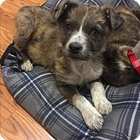 Adopt A Pet :: Stitch - Columbus, OH