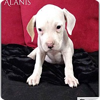 Adopt A Pet :: Alanis - DeForest, WI