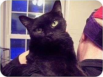 Domestic Shorthair Cat for adoption in East Stroudsburg, Pennsylvania - Missy