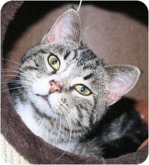 Domestic Shorthair Cat for adoption in Edmonton, Alberta - JJ