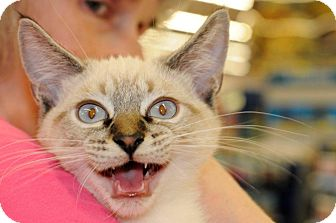Siamese Kitten for adoption in Harrisburg, North Carolina - Gnocchi