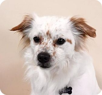 Pomeranian/Chihuahua Mix Dog for adoption in Alta Loma, California - Opie