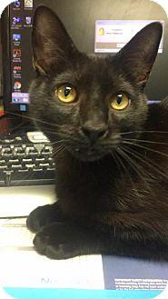 Domestic Shorthair Cat for adoption in Rincon, Georgia - Dr Dre