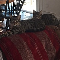 Domestic Shorthair Cat for adoption in Alpharetta, Georgia - Marlow (CL) and Milo (CL)