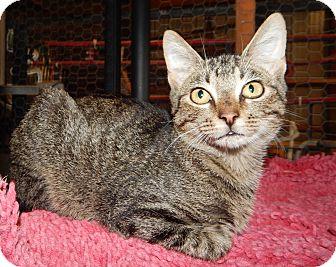 Domestic Shorthair Kitten for adoption in Plano, Texas - BUCKEYE - READ HIS STORY!