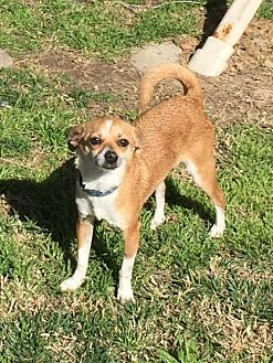 Beagle/Terrier (Unknown Type, Medium) Mix Dog for adoption in Santa Clarita, California - Bernie