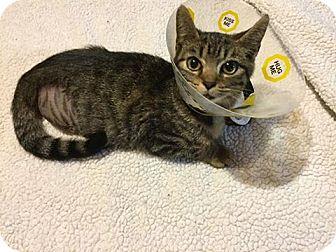 Domestic Shorthair Kitten for adoption in Woodstock, Ontario - Mr Bo Jangles