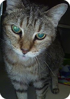 Domestic Shorthair Cat for adoption in Hamburg, New York - Sweetie