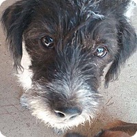 Terrier (Unknown Type, Small) Mix Puppy for adoption in Rosamond, California - Hans Solo