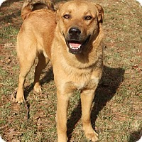 Golden Retriever/Shepherd (Unknown Type) Mix Dog for adoption in Albany, New York - McFly