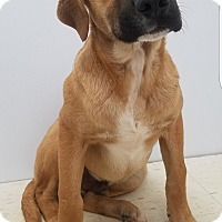 Boxer Puppy for adoption in Patterson, New York - Tanner