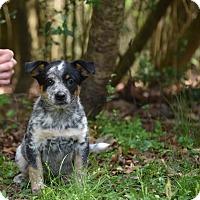 Adopt A Pet :: Nikita - Groton, MA
