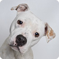 Adopt A Pet :: Nicki - Jefferson City, MO