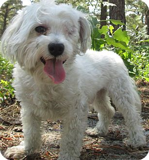 Maltese Dog for adoption in Forked River, New Jersey - Gucci