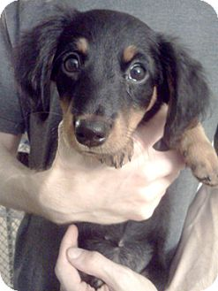 Dachshund/Jack Russell Terrier Mix Puppy for adoption in Richmond, Virginia - Clementine