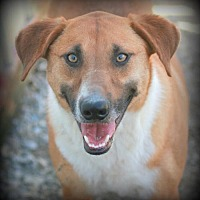 Basenji Mix Dog for adoption in Poland, Indiana - Cowboy
