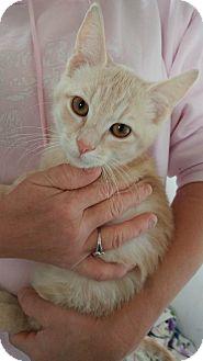 Domestic Shorthair Kitten for adoption in Clarkson, Kentucky - Bronco Billy